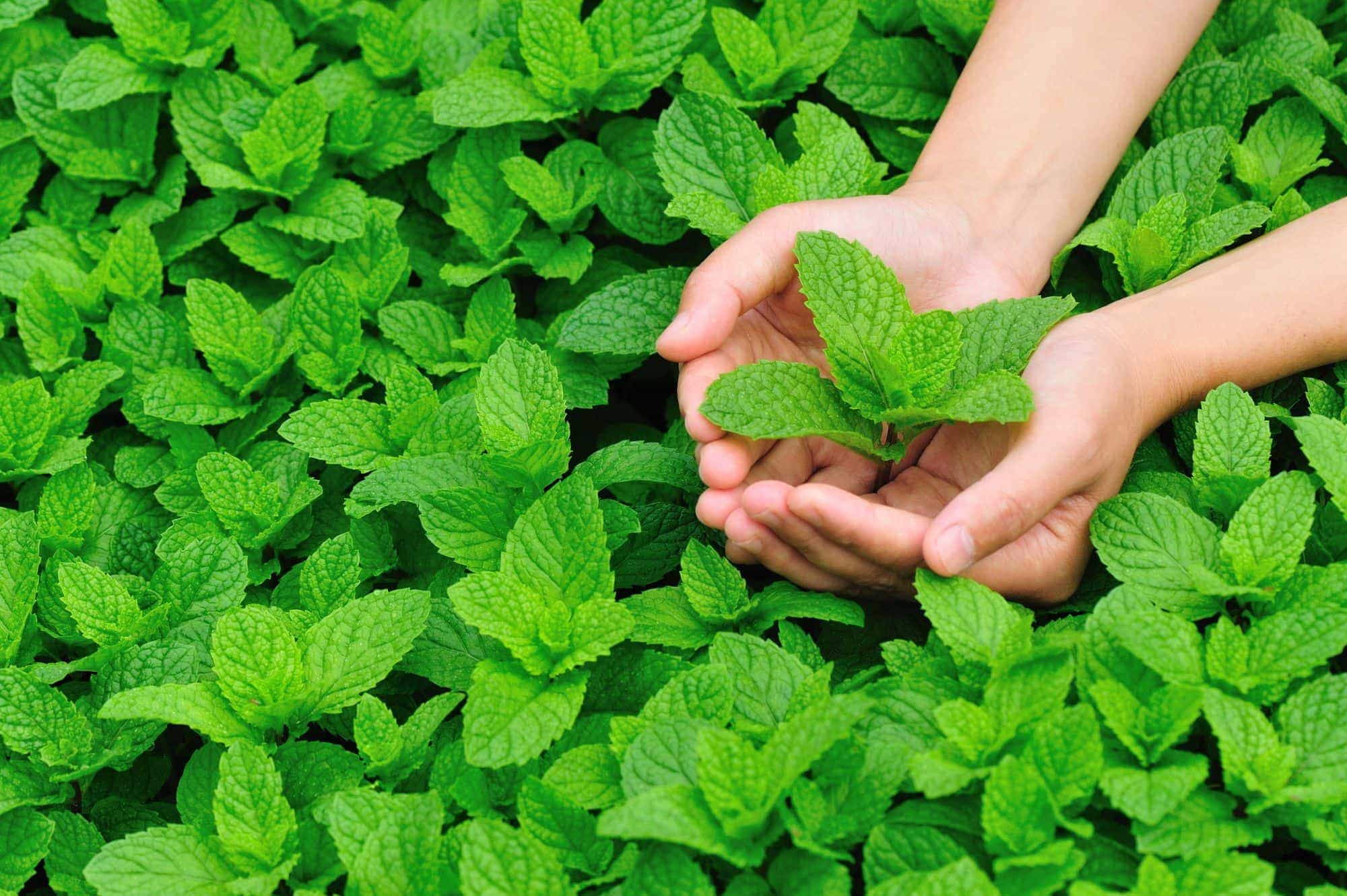 Peppermint to Combat Hair Loss
